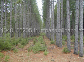 Red pine logs buy pine logs for sale product on alibaba com