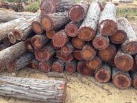 Keruing wood logs