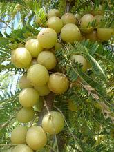 Best quality Emblica officinalis / Amla / Amloki whole & Powder form