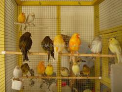 Birds, LoveBirds, Canary Birds, Finches, Yorkshire, Lancashire