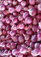 Whole Sale - Purple Onion