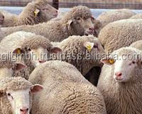 Top quality Live Sheep, Goats and Cattle ( Steer, Cows & Calf).