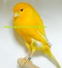 Live birds,Finches,Yorkshire,Lancashire Canaries