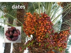 Dates Fruits and Fresh Grapes Available