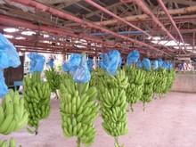 GREEN PLANTAIN/ Fresh Cavendish green Banana