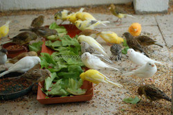 All Live Canary Birds, Finches, Yorkshire, Lancashire, Love Birds For Sale