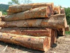 High quality pine logs, pine wood, round pine timber