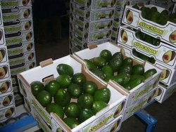 Avocados (avocados), fresh Avocados Fruits Thailand Crop for sale