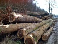 European poplar and pine logs