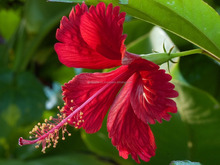 100% Herbal Hibiscus tea suppliers