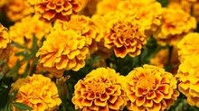 Lutein Ester Oil & Powder up to 40% from marigold