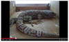 gecko tokek