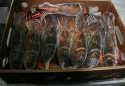 Frozen Sea Food Surimi Lobsters,Green Lobsters,Lobsters Tail and Slipper Lobsters