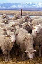 Boneless Lamb Mutton Halal , Sheep Meat Halal , Frozen Mutton