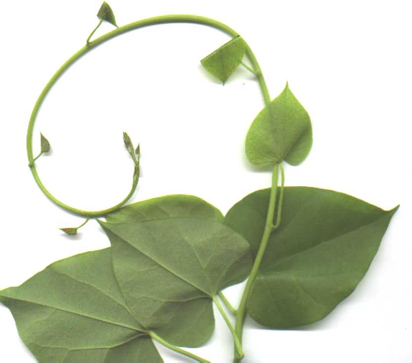 High grade tinospora cordifolia powder at your door step