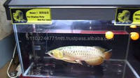 100% High Quality Chili Red Arowana Fish Available on sale