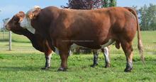 Simmental BULL COW