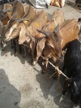 Goat, Sheep Livestock