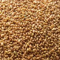 Best Quality Alfalfa seeds for Sale