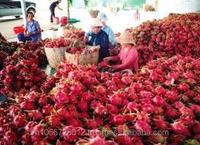 Fresh Red Dragon fruit in Viet Nam-best price