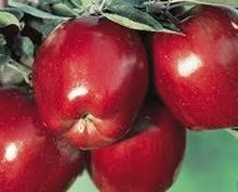 Red Delicious apples, Golden Delivious,Fuji, Gala Apples for sale