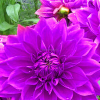 50pcs Large Purple Boogie Nights Dahlia Flower Seeds Beautiful Gardens Plant View