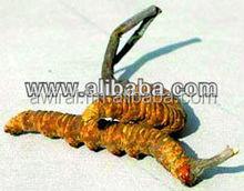 Cordyceps Sinensis/yarsagumba