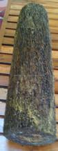 Orchid Pern Tree (Cyathea Contaminans)