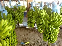 Premium Grade A Fresh and Green Cavendish Bananas