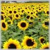 /p-detail/Ruso-de-aceite-de-girasol-precio-competitivo-400001822353.html