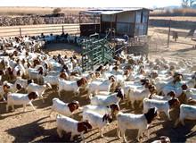 100% Full Blood Boer Goats,Cattle, Sheeps, Lamb Ready for Export