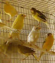 Yorkshire Canary Birds, Live Lancashire Canary For sale