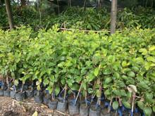 Jujube plant fruit tree