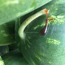 Top Quality Fresh Watermelon