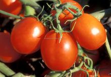 Chopped Tomato Exporter