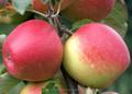 fresca mela jonagold