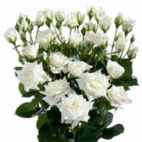 White Spray Rose Snow Flake