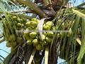 Orgánica joven coco