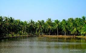 coconut farm .jpg