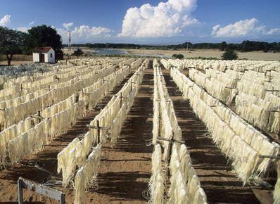 fibras de sisal es realmente uno de los ms verstiles dotados a hombre por la naturaleza que considera diversos usos en forma de artesanas al lado de